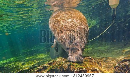 Orphan Juvenile Manatee Swimming In A Florida Spring After Being Released And Wearing A Monitor.  He