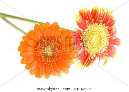 Orange And Yellow Gerbera Daisy Family