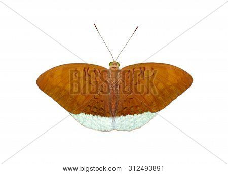 Image Of Male Common Earl Butterflies(tanaecia Julii Odilina) Isolated On White Background. Insect.