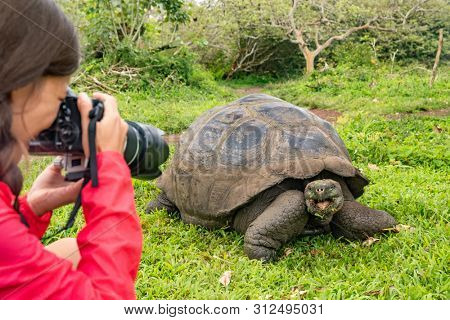 Wildlife photographer and tourist on Galapagos Islands photographing Giant Tortoise. Animals wildlife funny photo of tortoise in the highlands, Santa Cruz Island, Galapagos, Ecuador, South America