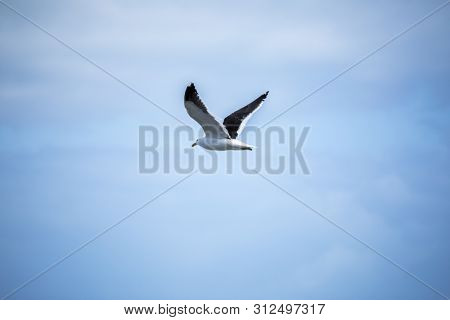 An image of a seagull bird in the sky