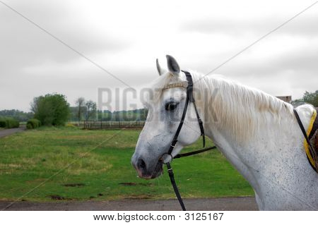 White Horse Portrait In A Nature Background