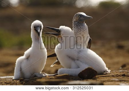 Blue-footed Booby (sula Nebouxii) Chick Showing Aggression Towards Its Sibling As Its Parent Looks T