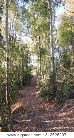 Country Path Through Eucalyptus Trees On The Outskirts Of Alora Andalusia One Sunny Morning