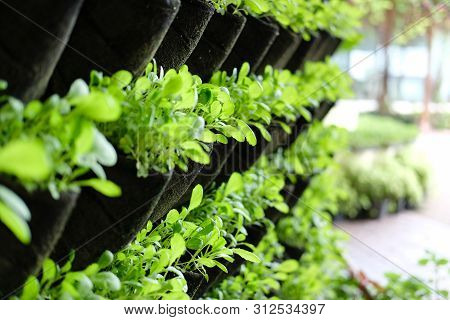 Plant Growing Vertically In Vertical Garden. Vegetable Planted On Wall