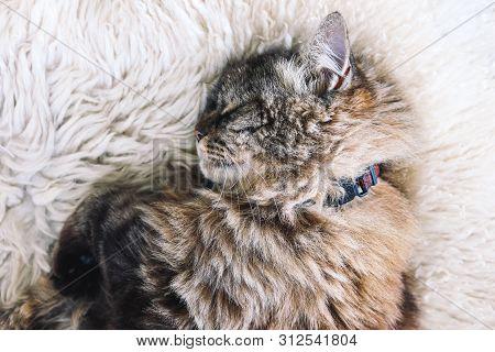 Beautiful Tabby Cat Sleeps On White Fluffy Blanket. Black Cat Collar Around Neck. Persian Cats. Taki