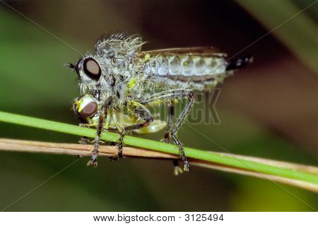 Robberfly Preying On Hover Fly