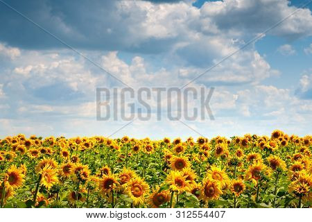 Sunflowers Field. Blooming Sunflower Flowers On A Sunflowers Field And A Blue Sky With White Clouds