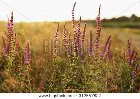 Fresh Purple Salvia Flowers In The Meadow At Sunset