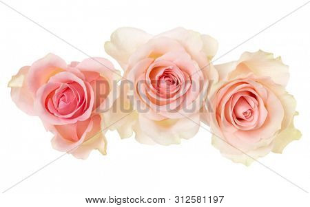 three pink roses isolated on white background closeup. Rose flower bouquet in air, without shadow. Top view, flat lay.