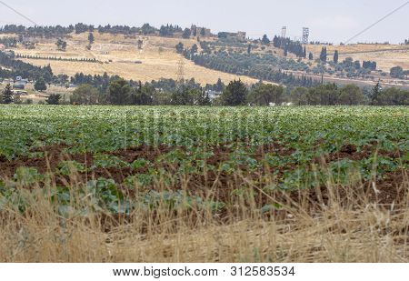 Green Plants Agriculture In Amman In Jordan