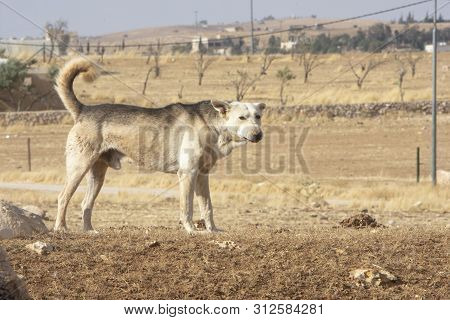 Dog Of Sheep On The Hill In Jordan, Dried Grass