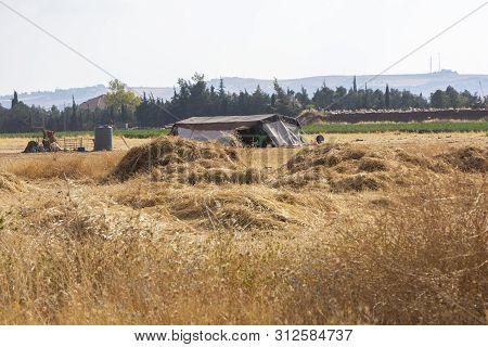 Harvesting Dried Barely By Bedouin In Amman In Jordan