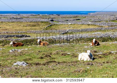 Cows In Farm Field With Stone Wall And Ocean In Inishmore, Aran Islands, Ireland