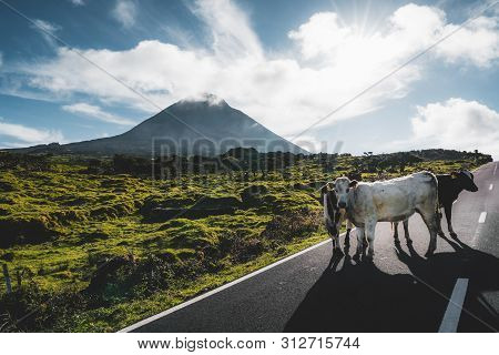 Cows Standing On En3 Longitudinal Road Northeast Of Mount Pico And The Silhouette Of The Mount Pico