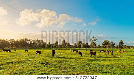 Cows Grazing On A Daily Farm In Rural South Australia During Winter Season