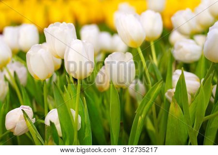 White And Yellow Tulip Flower In The Garden. Beautiful Bouquet Of Tulips. Colorful Tulips. Tulips In