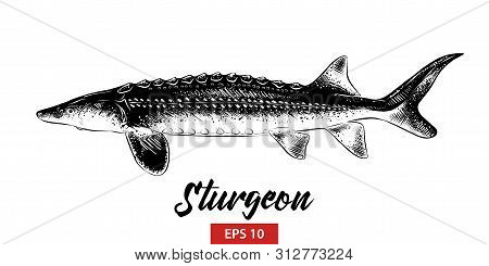 Vector Engraved Style Illustration For Posters, Decoration And Print. Hand Drawn Sketch Of Sturgeon
