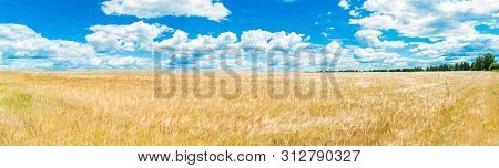 A Large Golden Wheat Field. Cumulus On A Clear Blue Sky. Green Forest On The Horizon. Beautiful Natu