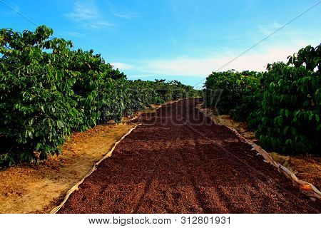 Harvesting Coffee Berries And Drying Of Coffee Beans Against Blue Sky. Coffee Industry Background. R