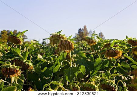 Photo Of A Sunflower Field Starting To Bloom On A Sunny Day In Vacaville, California, Usa