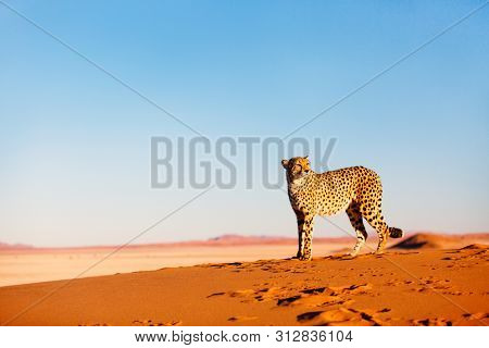 Beautiful cheetah outdoor on red sand dune early in the morning at Namib desert