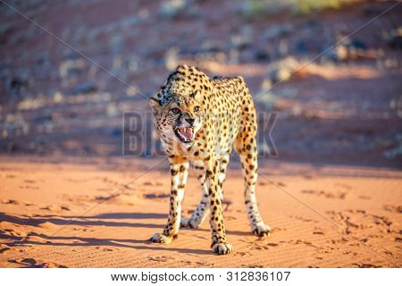 Close up of angry cheetah outdoor in natural environment