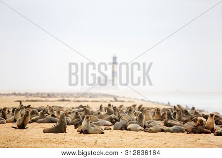 Seal colony at Pelican point coast at Walvis bay in Namibia