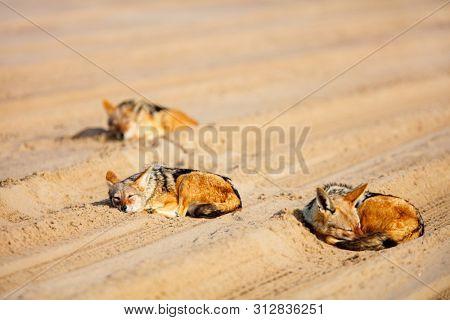 Jackals sleeping on sand at Walvis bay in Namibia