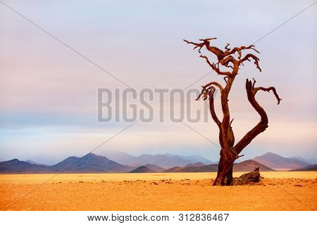 Dried out acacia camelthorn trees in Namib desert on a cloudy afternoon