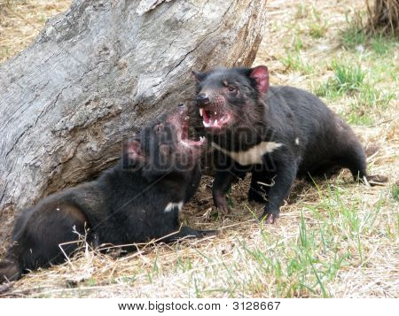 Tasmanian devil smelling and sniffing the air for scent poster