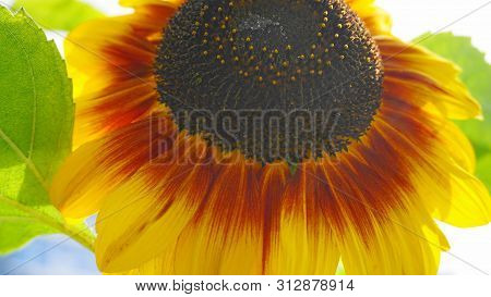 Bright And Showy Yellow Sunflower Head Close Up.