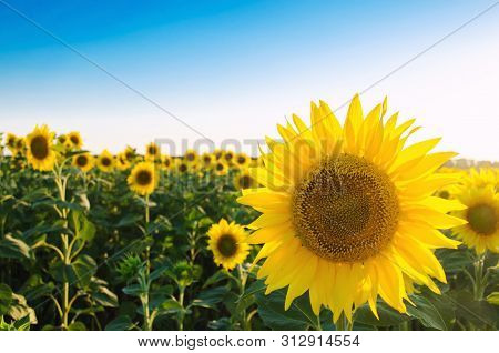 Beautiful Young Sunflower Growing In A Field On A Sunny Day. Agriculture And Farming. Agricultural C