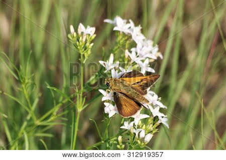 A Beautiful Gold Delaware Skipper Butterfly Is Sipping Nectar From White Diamond Wildflowers In A Gr