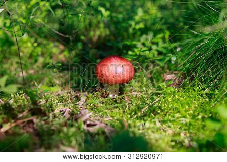 Edible Small Mushroom Russula With Red Russet Cap In Moss Autumn Forest Background.