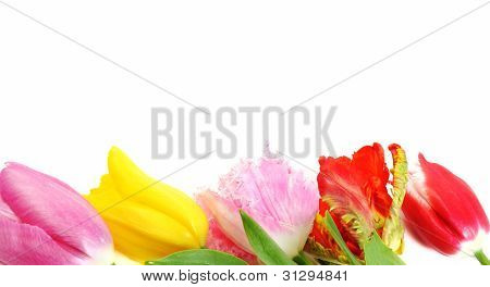 Beautiful Tulip Flowers Border