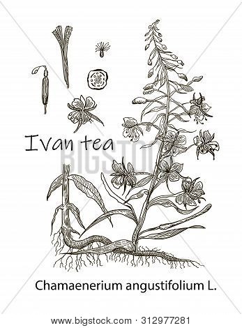Drawing Picture, Black Silhouette Of A Field Flowering Plant Ivan-tea, Sketch, Hand-drawn Vector Ill