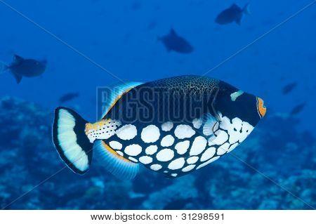 Clown Trigger Fish, Maldives