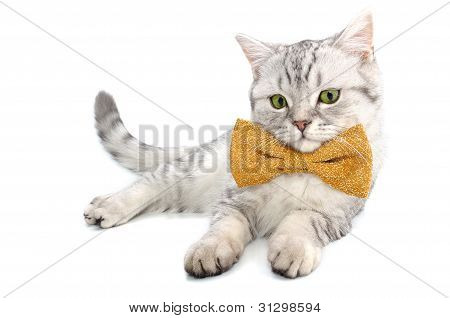 beautiful young silver tabby Scottish cat kitten with bow tie on white background posing and looking at camera poster