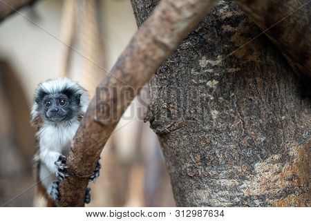 Young Cotton-top tamarin. Baby monkey on the tree branch. Saguinus oedipus poster