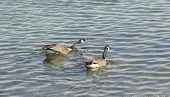 two canada geese swimming in lake ontario poster