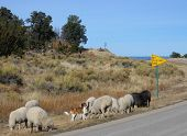 sheep dogs herd flock along rural highway poster
