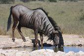 Blue wildebeest drinking water in the Kalahari desert poster