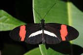 A view of a Crimson-patched Longwing Butterfly poster