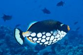Tropical Fish - Clown Triggerfish (balistoides Conspisillum). Maldives. Indian Ocean poster