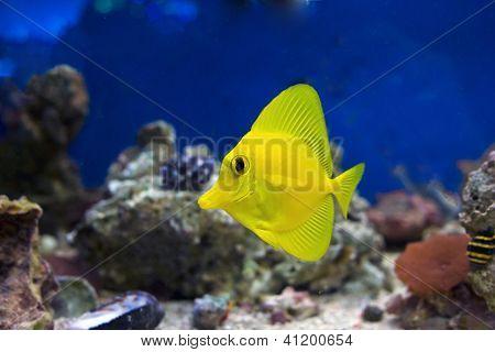 Small yellow tropical fish.