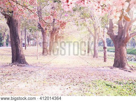 Tunnel Pink Flowers Tabebuia Rosea Blossom .tabebuia Rosea