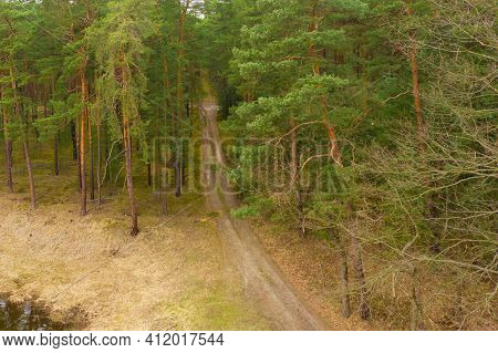 Tall Pine Forest. There Is A Forest, Dirt Road Covered With Pine Needles Between The Trees. Single W