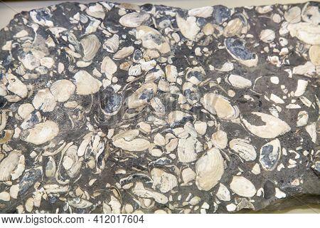 Sandstone With Bivalve Shells Beautiful Black And White Pattern, Background. Paleontology Marine Ani