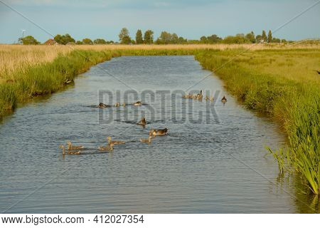 A Large Flock Of Geese And Cygnets Swimming In The Canal. Green Fields And Vegetation On Either Side